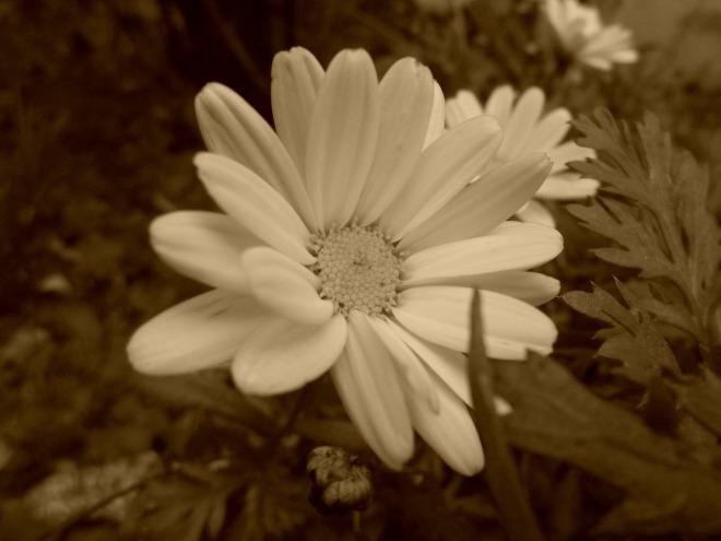 sepiaflower