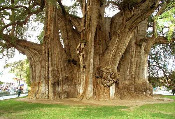 El Arbol del Tule, an Ahuehuete or Montezuma Cypress growing in Oaxaca, Mexico in the town of Santa Maria del Tule.